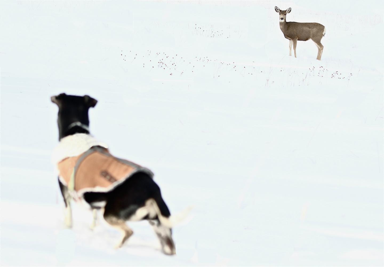 Dog vs Deer by Paddy Hackett