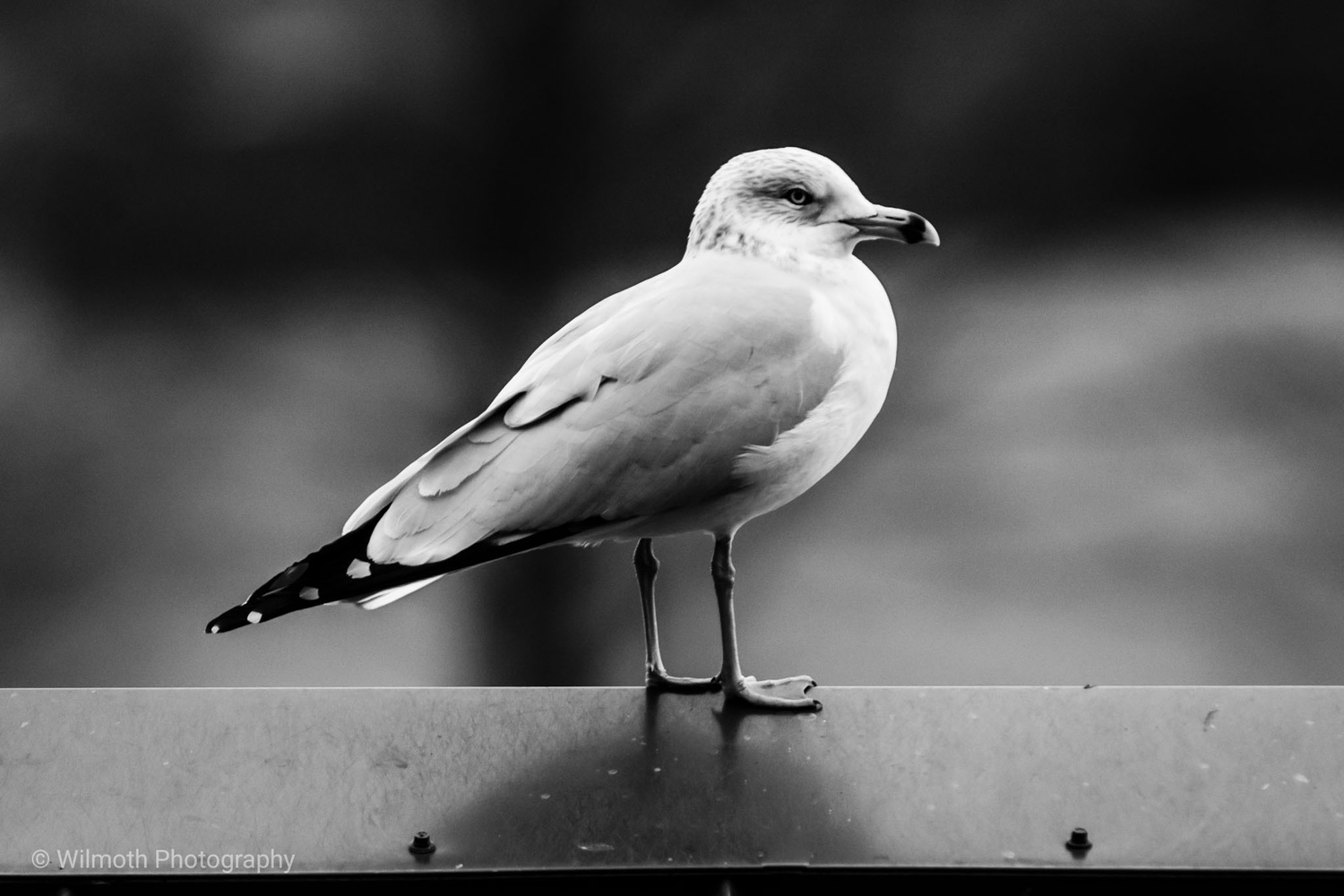 Seagull by Bryan Wilmoth