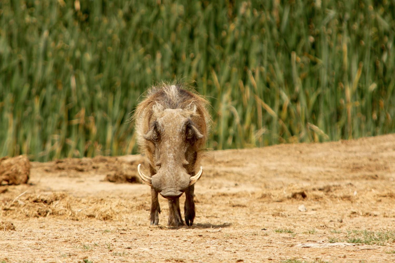 Warthog by Harm Bouwman