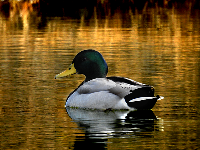 Mallard by Eddie Johnson
