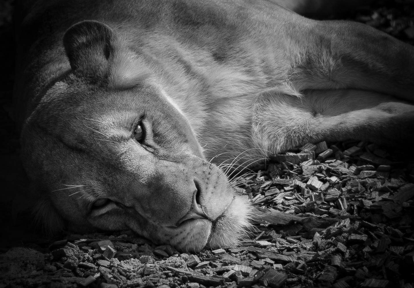 Lioness by Rene Larsen