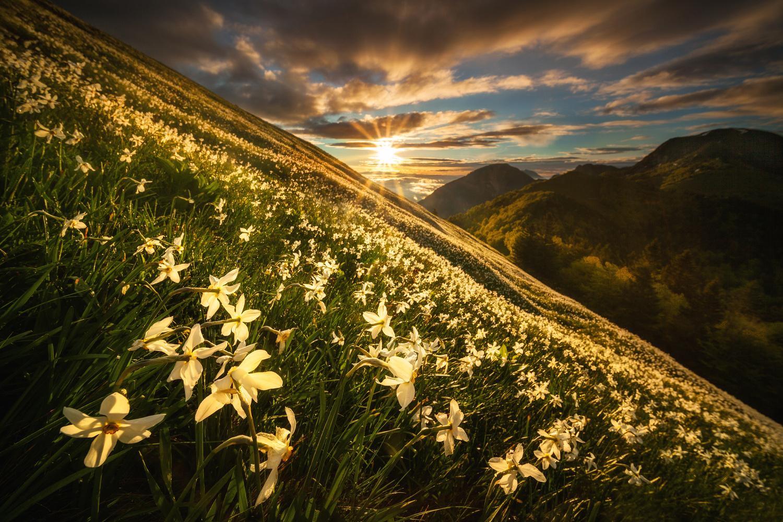 Narcissus meadow by Piotr Skrzypiec