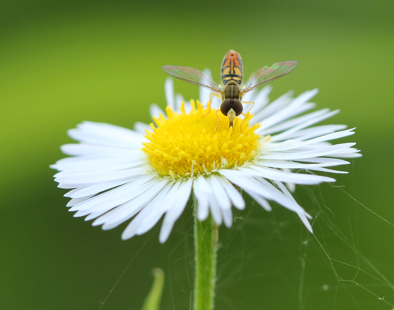 Hoverfly on flower by Brian Magnier
