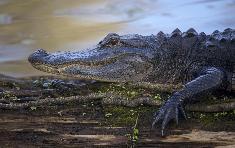 American Alligator by Brian Magnier