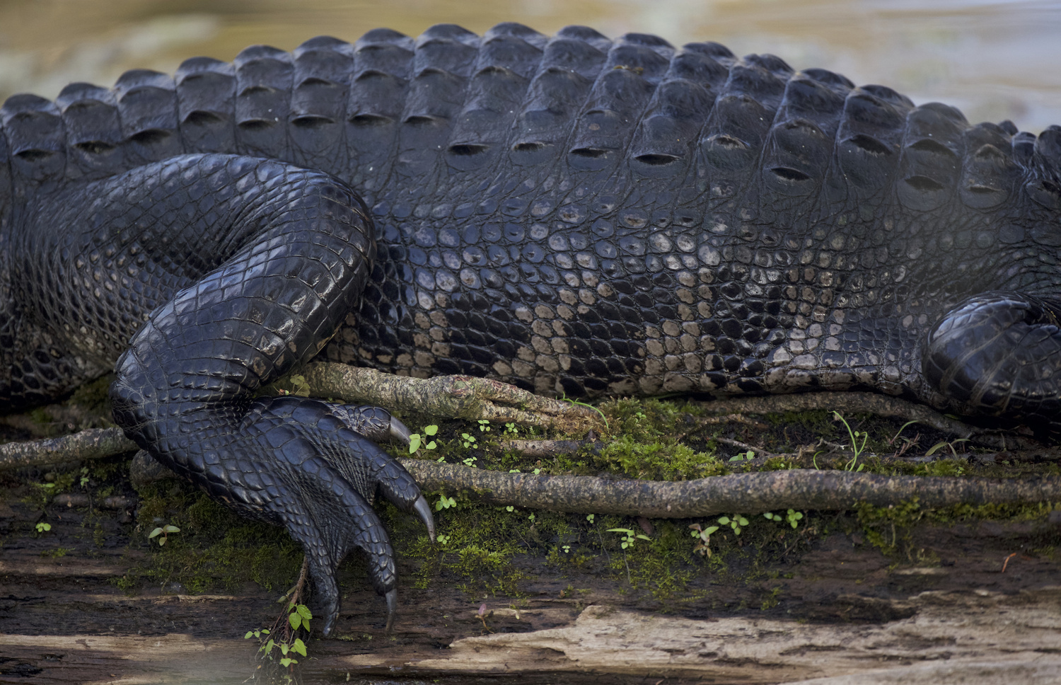 American Alligator side by Brian Magnier