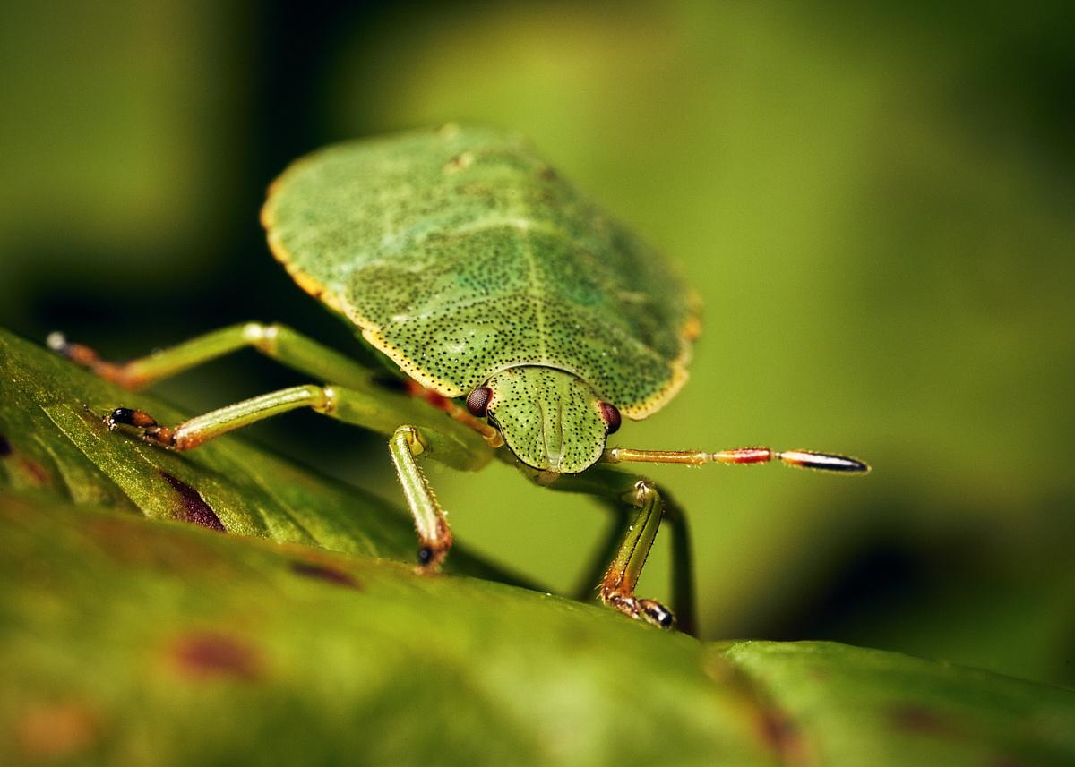 Shield Bug (Palomena prasina, Nymph) by Gion-Andri Derungs