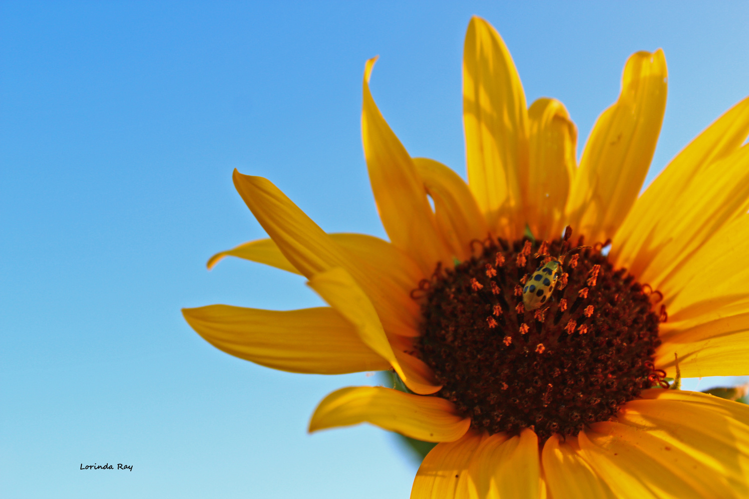 Sunflower in the Blue by Lorinda Ray