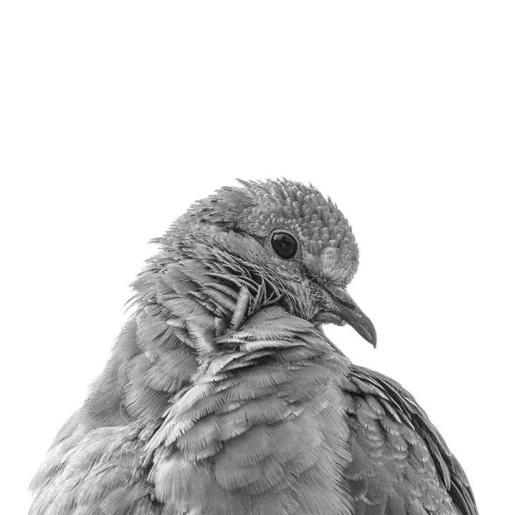 Young turtledove by Ricardo Chávez