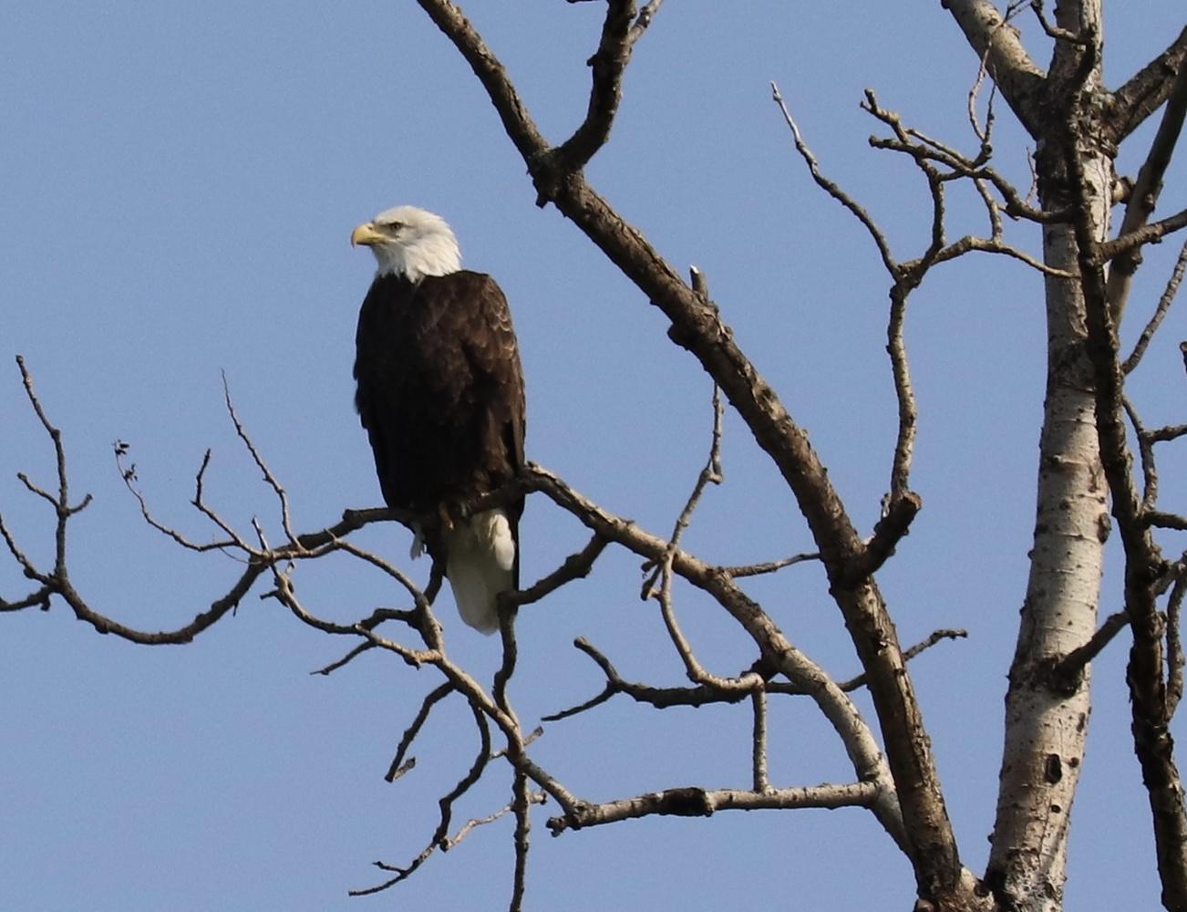 Bald Eagle by Paul Asselin