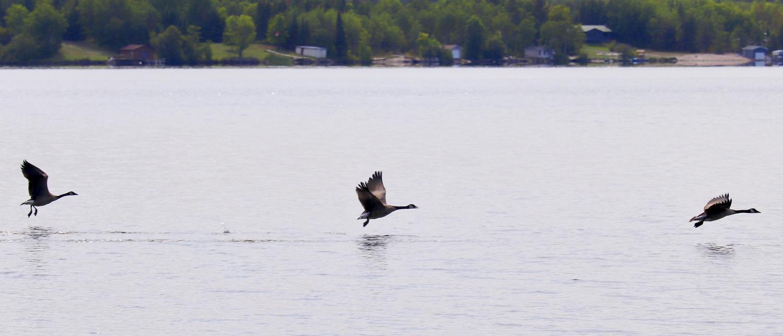 3 Canada Geese by Paul Asselin