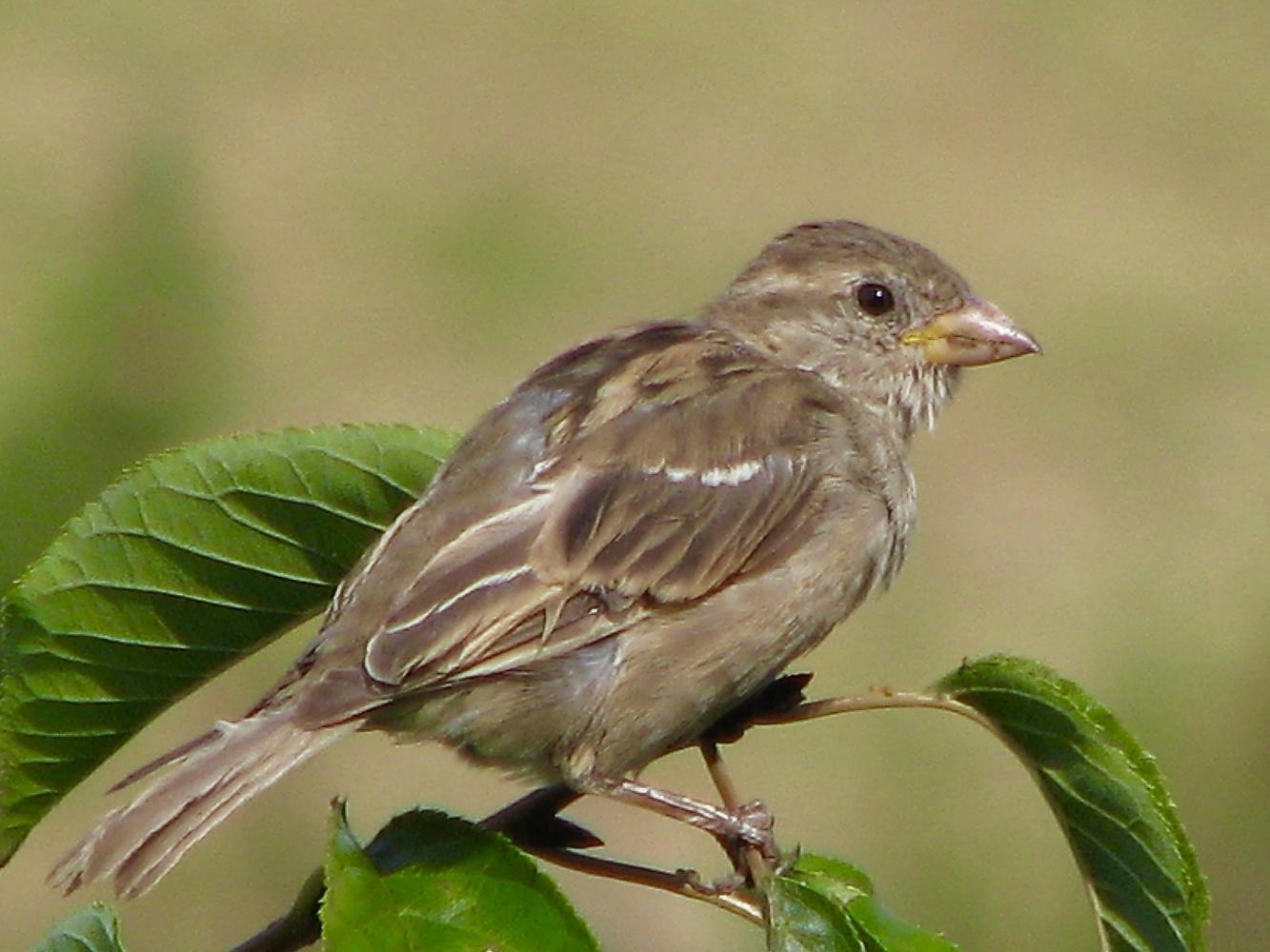 Female Red-winged Blackbird by Paul Asselin
