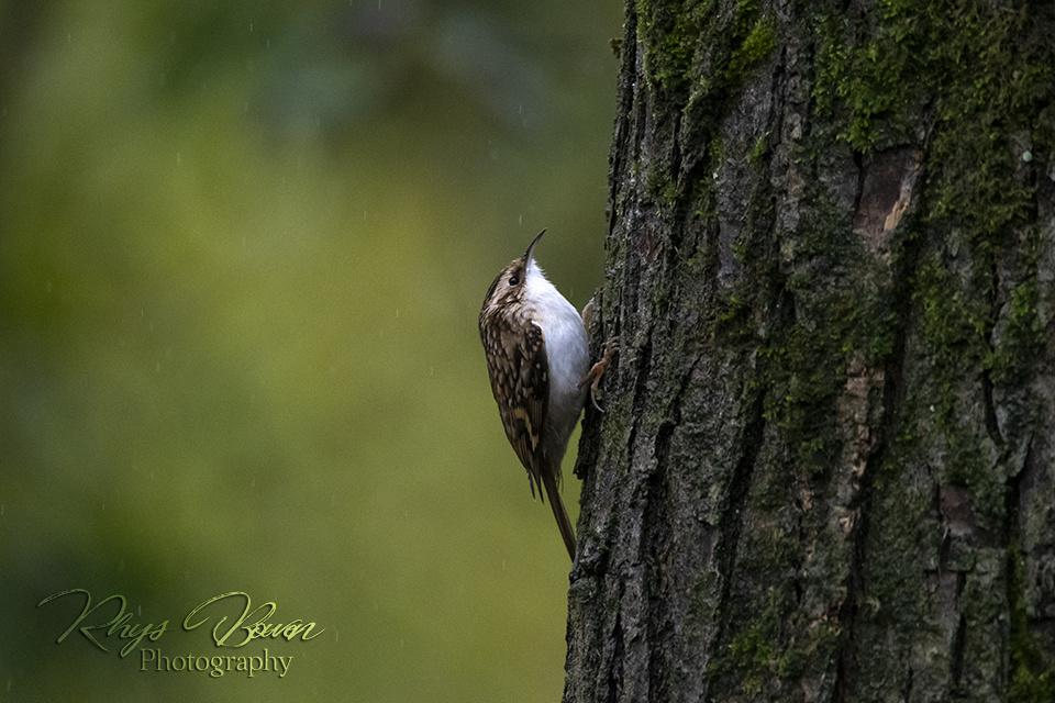 Treecreeper by Griffith Bowen