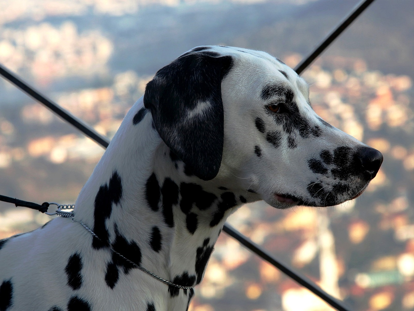 Dalmatian Colours by Tamara Barzagli