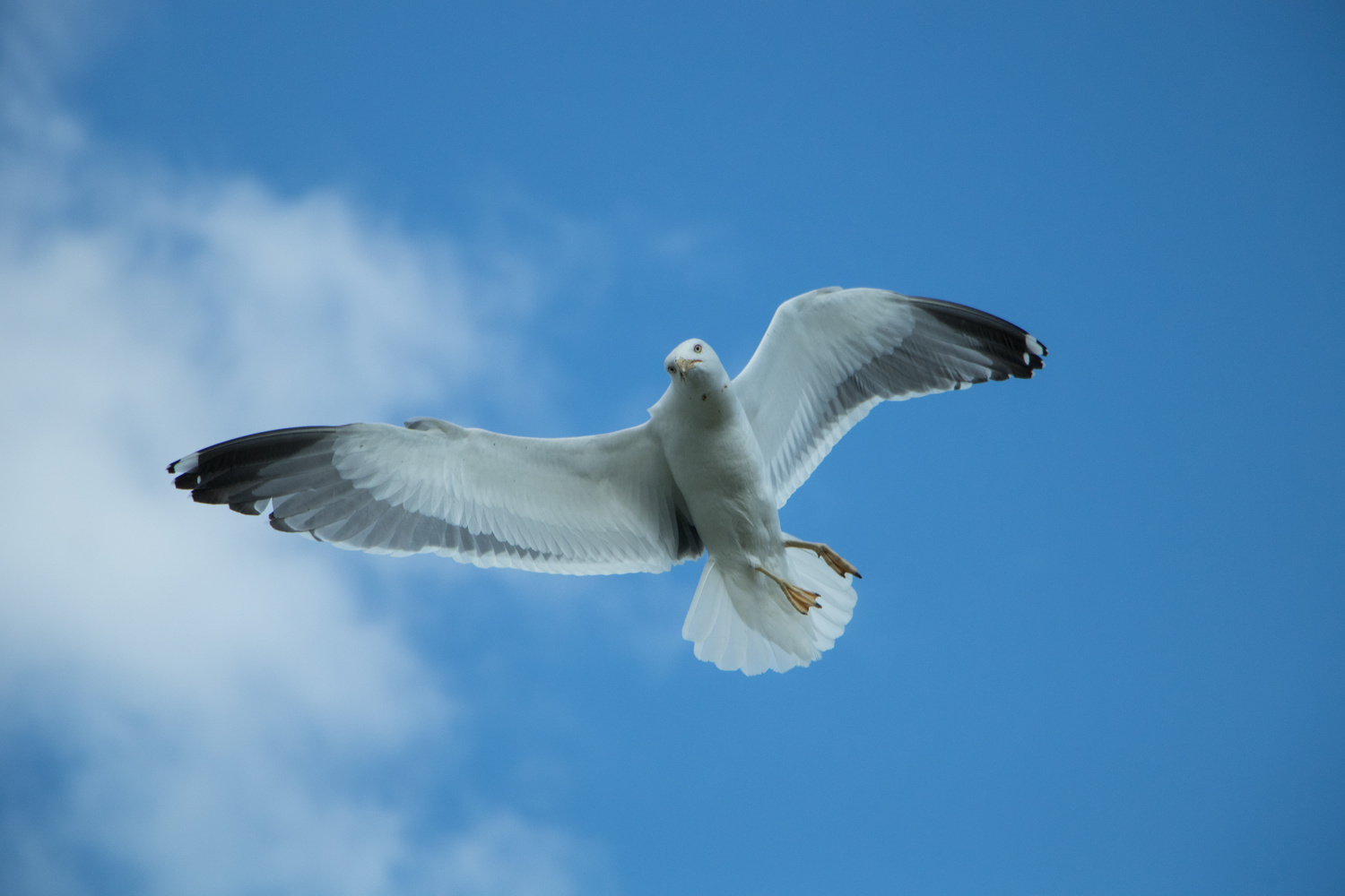 Seagull in Flight by Michael Whitney