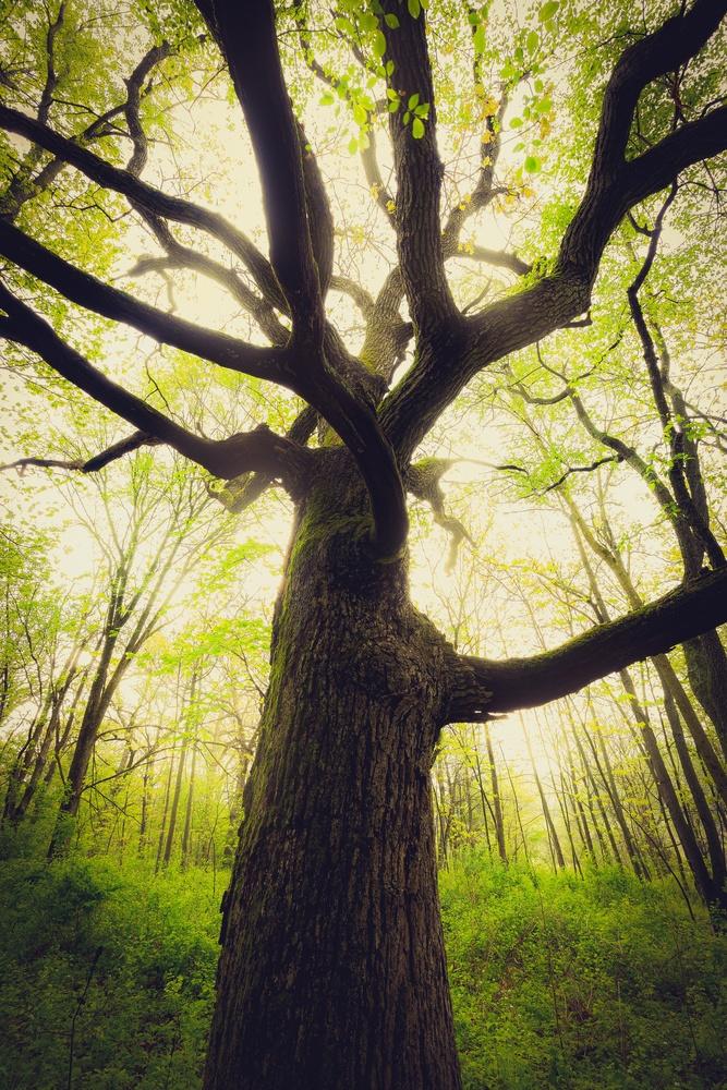 Springtime Oak by Jeremy Leder