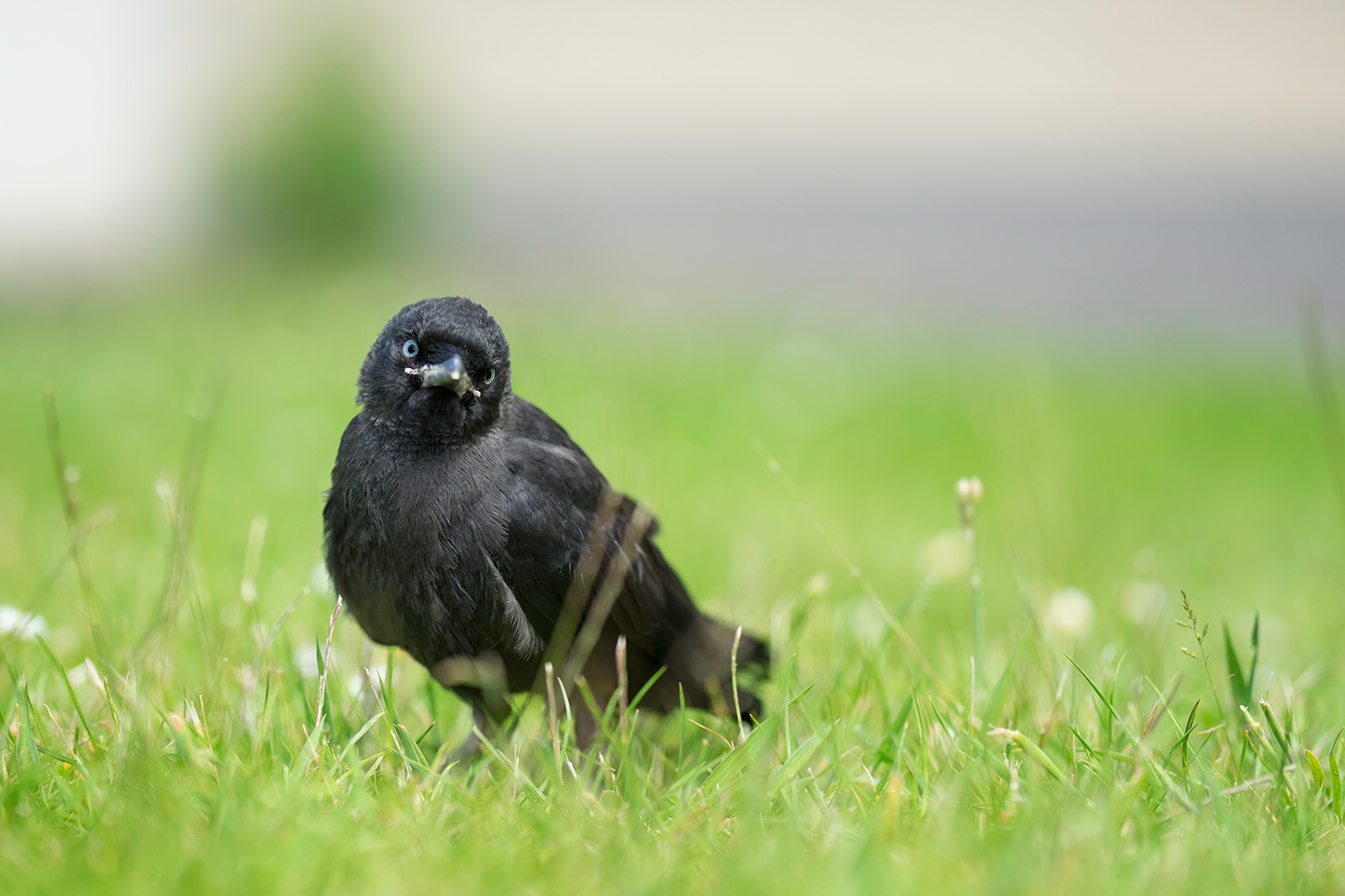 A jackdaw looking to the camera. by Felix Berger
