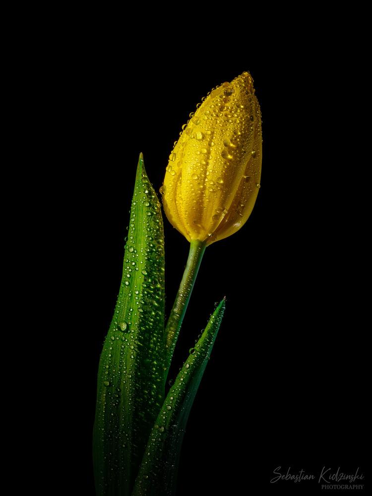Yellow Tulip by Seb Kidzinski
