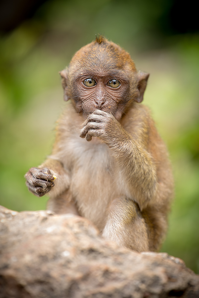 Crab-eating macaque by Keith Newman