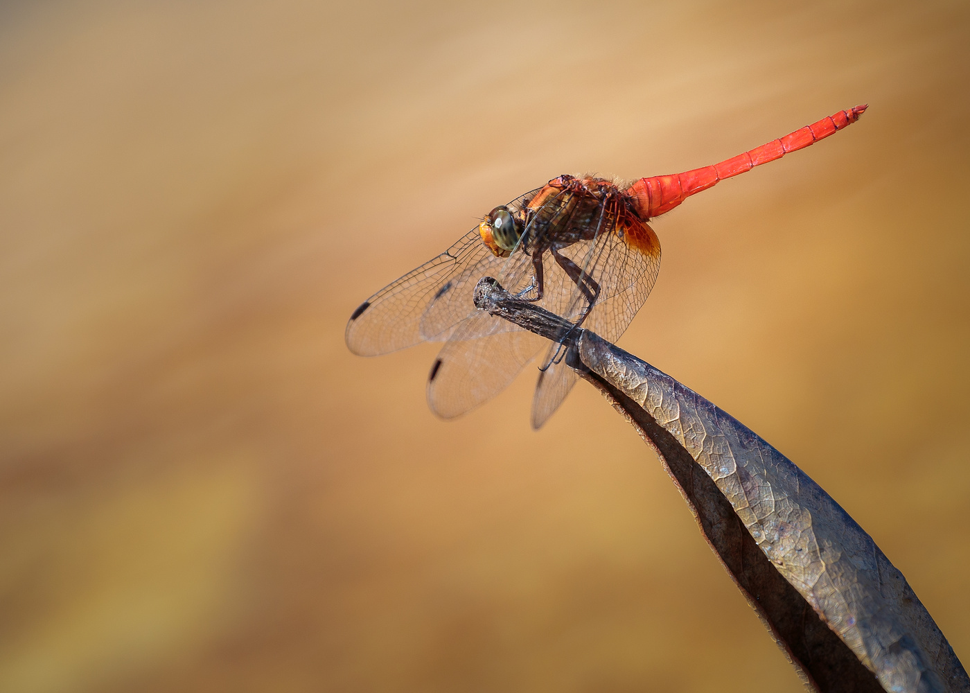Damson fly dragon fly by Keith Newman