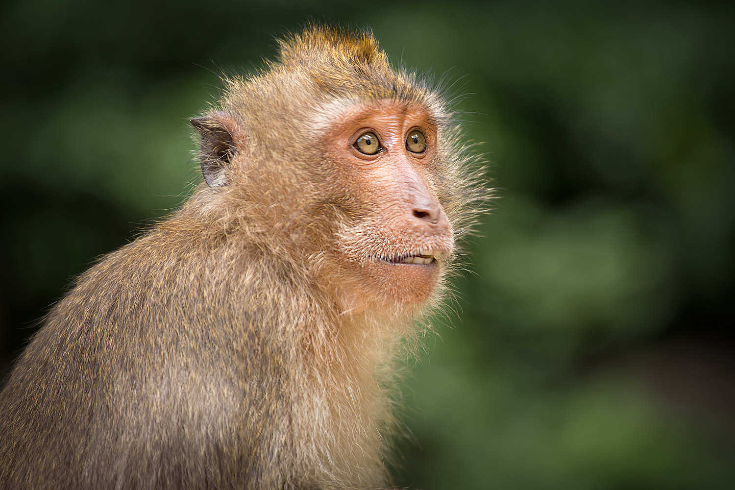 Macaque by Keith Newman