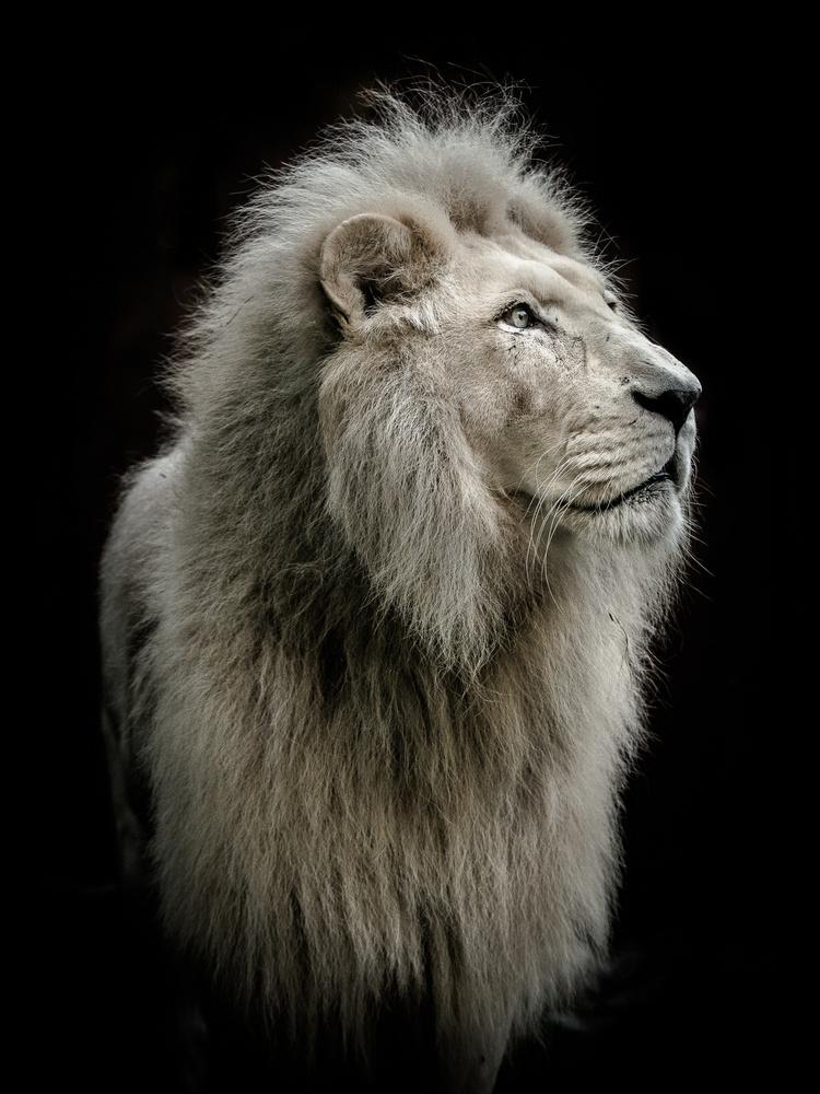 Stillness of a Lion by Mare Jánoš