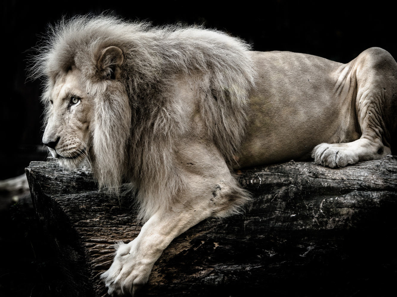 Intense stare of a lion by Mare Jánoš