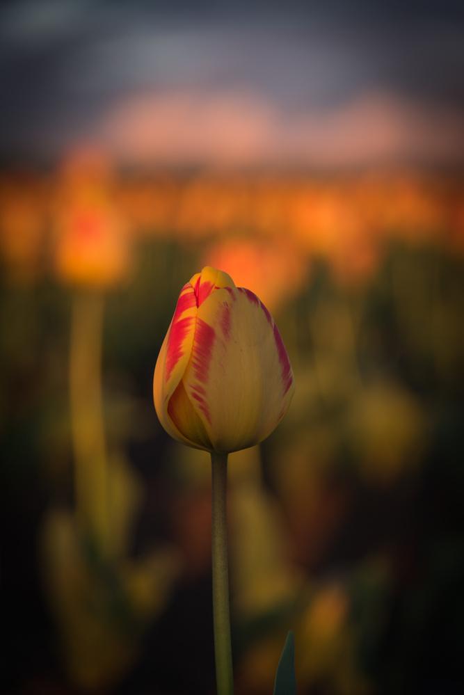 Lone tulip at golden hour by Nick Wiltgen