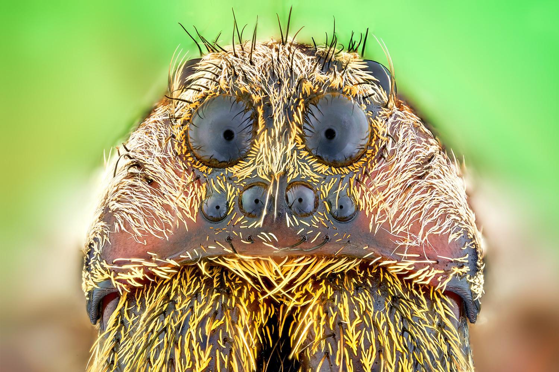 Wolf spider by Pierre Anquet