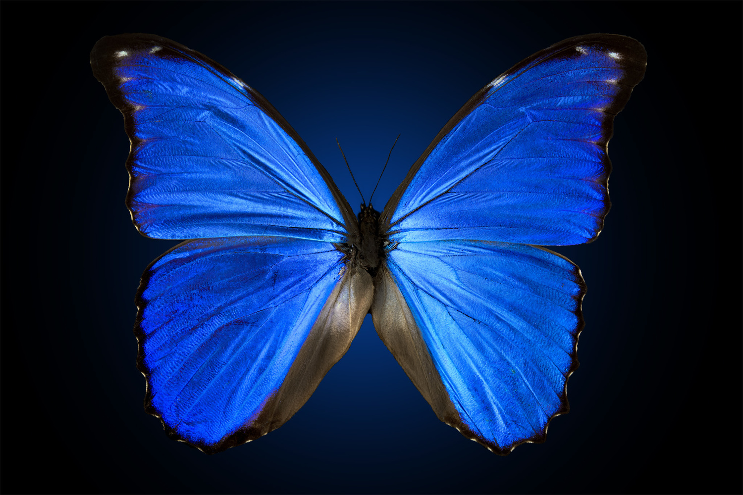 Morpho butterfly by Pierre Anquet