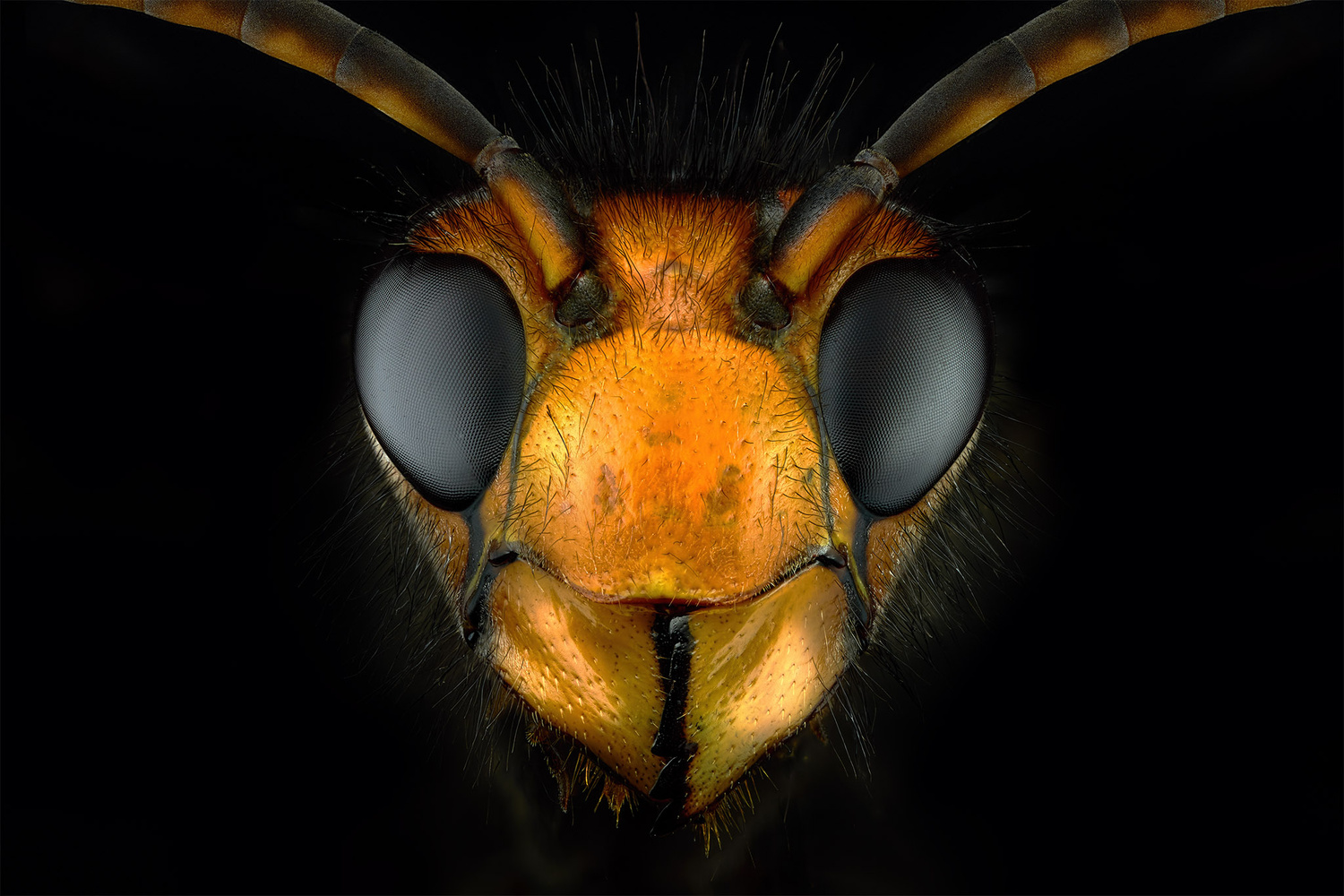 Asian hornet by Pierre Anquet