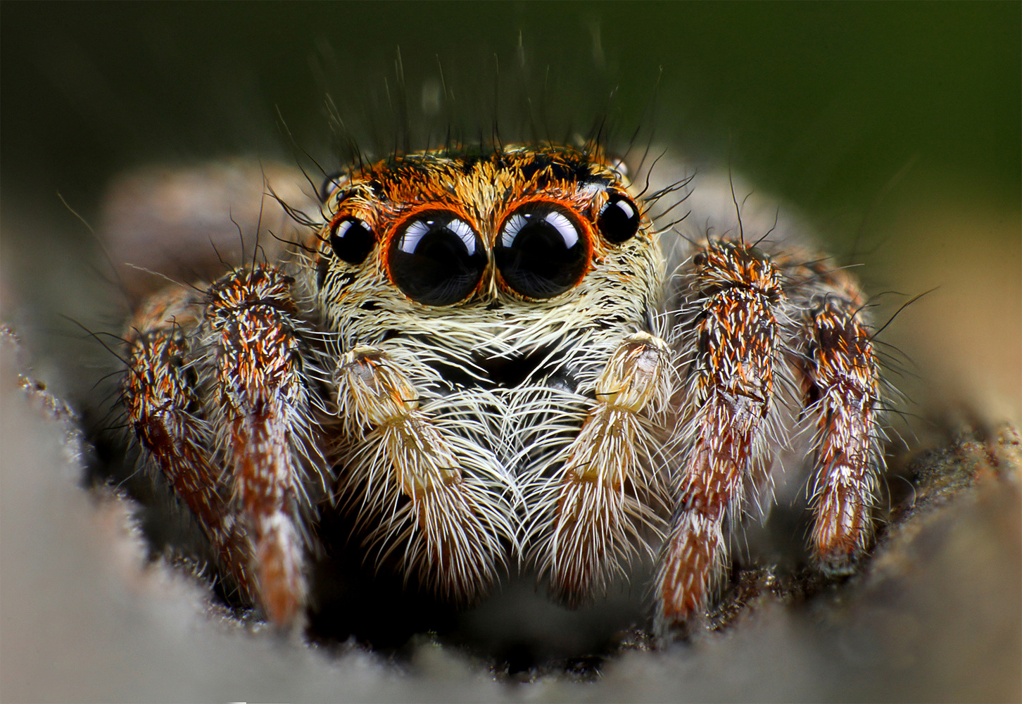 Jumping spider by Pierre Anquet
