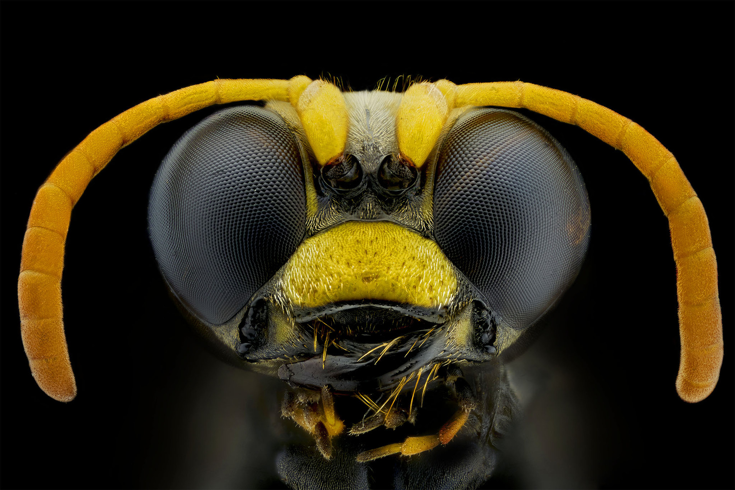 Wasp by Pierre Anquet