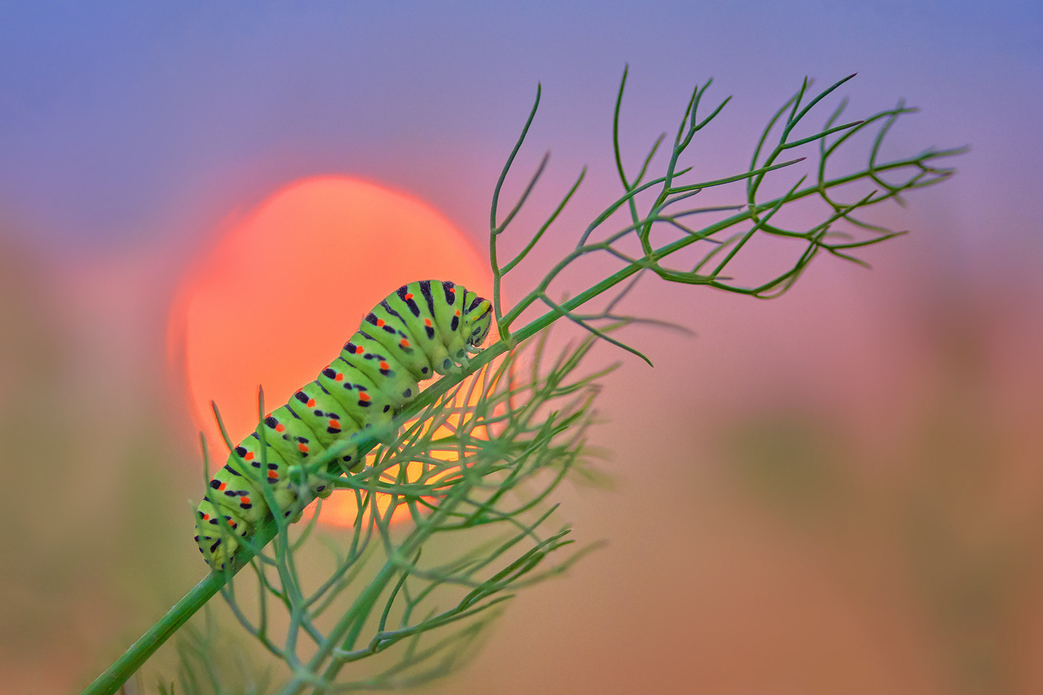 Sunset caterpillar by Pierre Anquet
