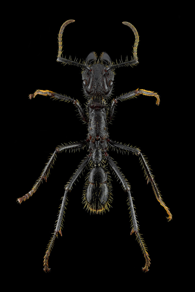 Paraponera clavata aka Bullet Ant by Pierre Anquet