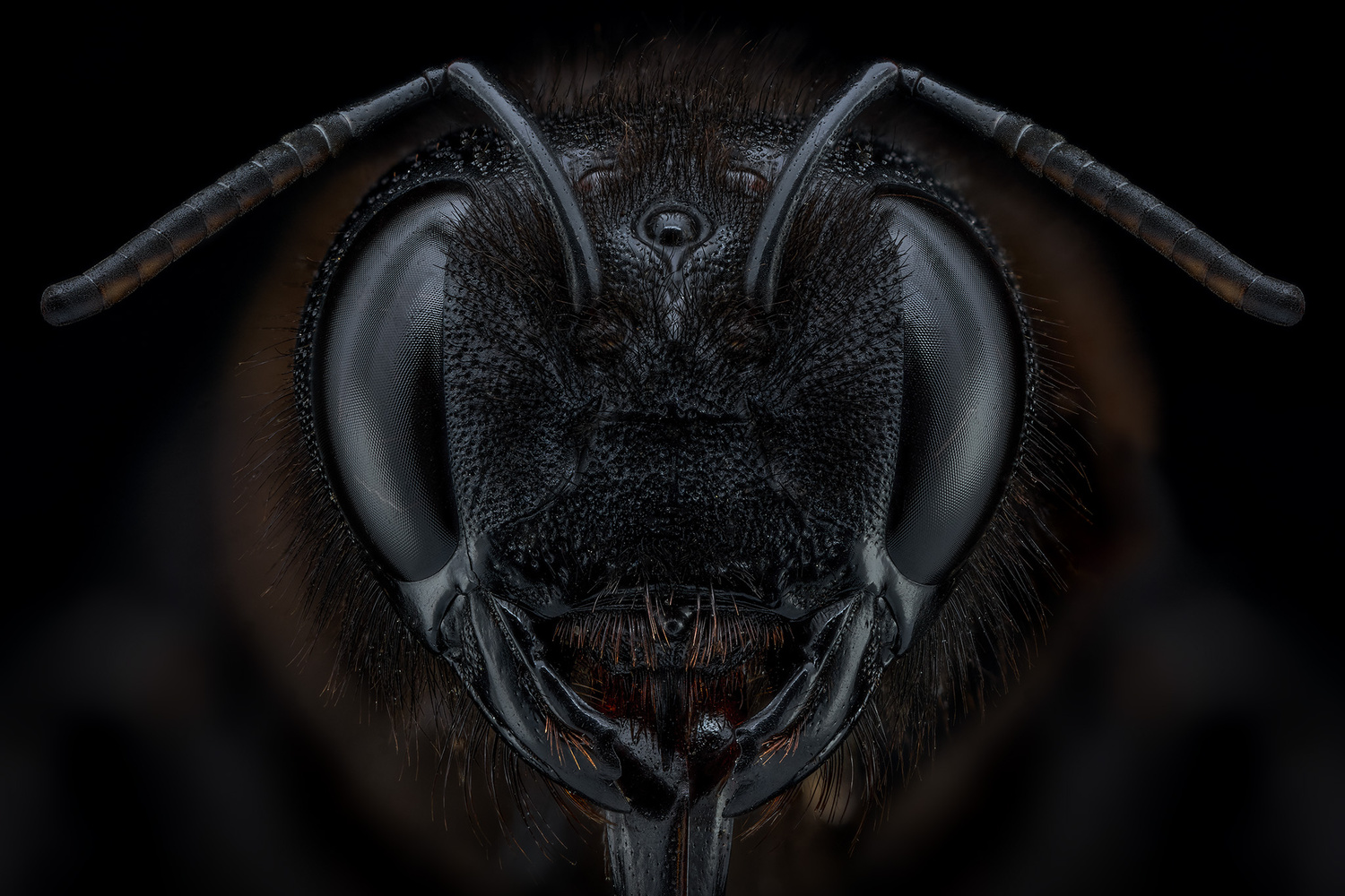 Xylocopa sp. by Pierre Anquet