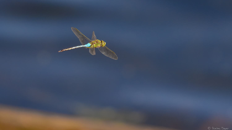 Dragonfly in Flight by Steve Bayer