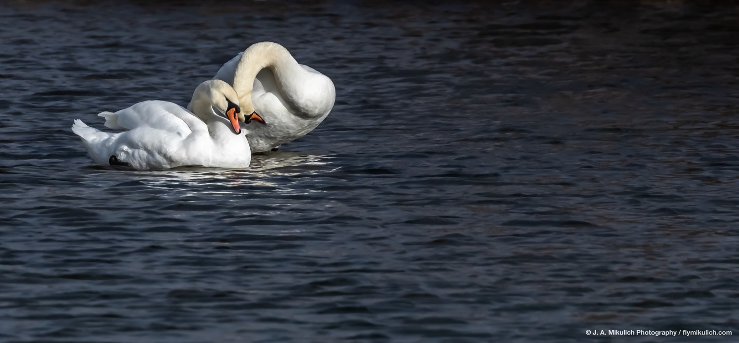 Mute Swan couple by J. A. Mikulich