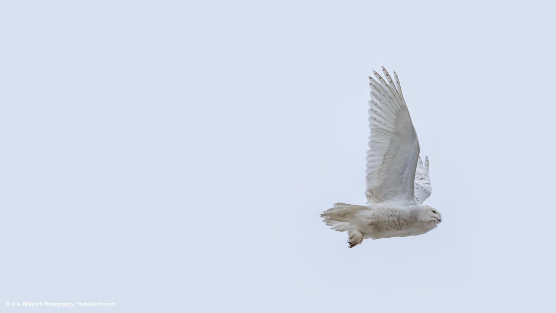 Male Snowy Owl in flight by J. A. Mikulich
