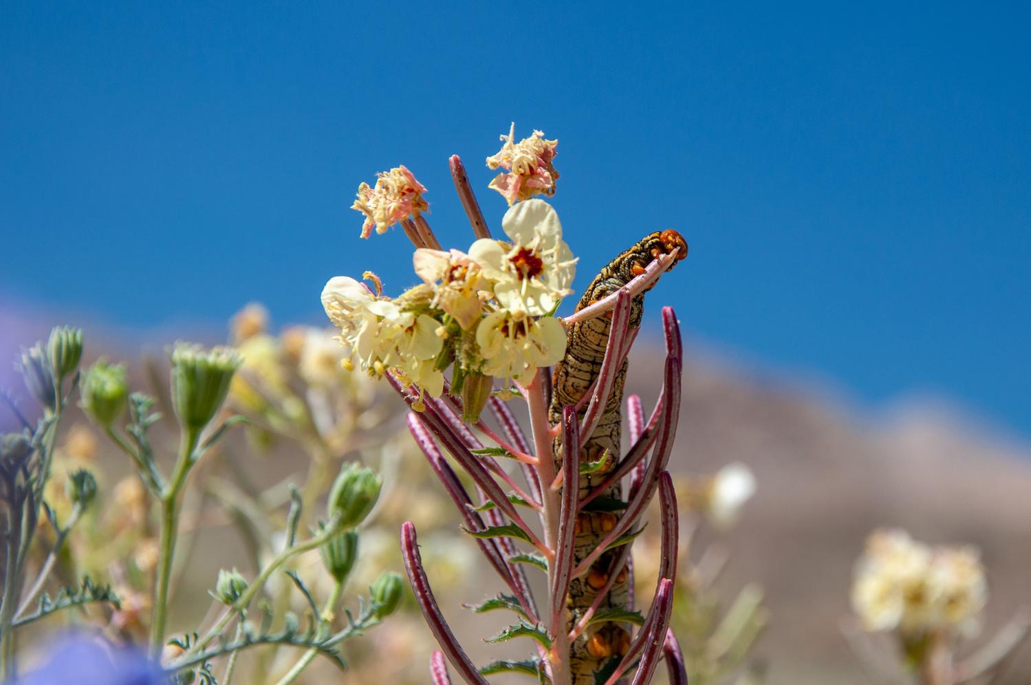 Anza Borrego Desert Catipillar by Josh Utley