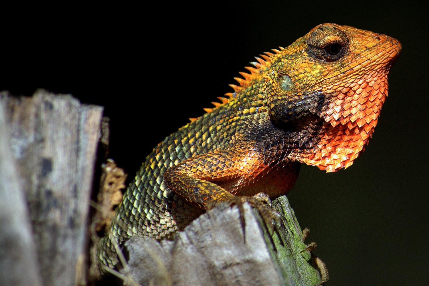 Orange Lizard by Shaun Botha