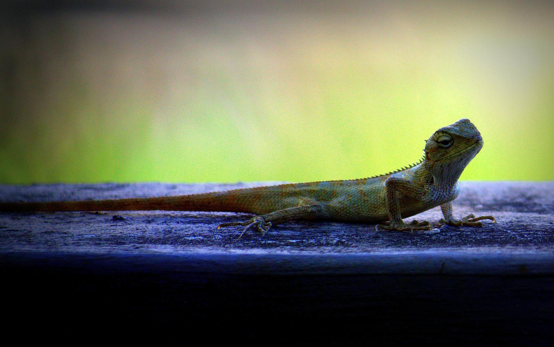 Curious Lizard by Shaun Botha