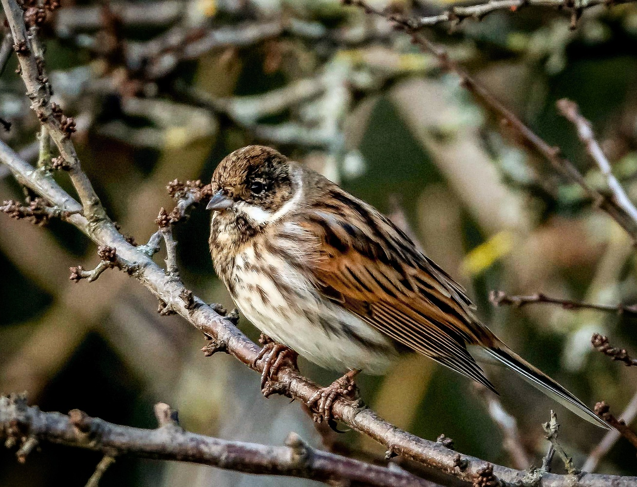 Reed Bunting by Steve Franks