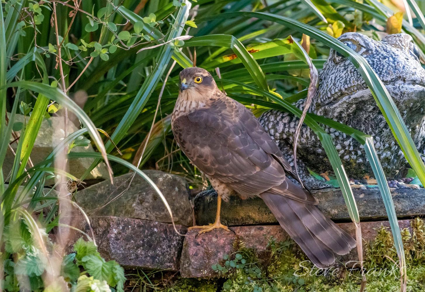 Sparrow Hawk by Steve Franks