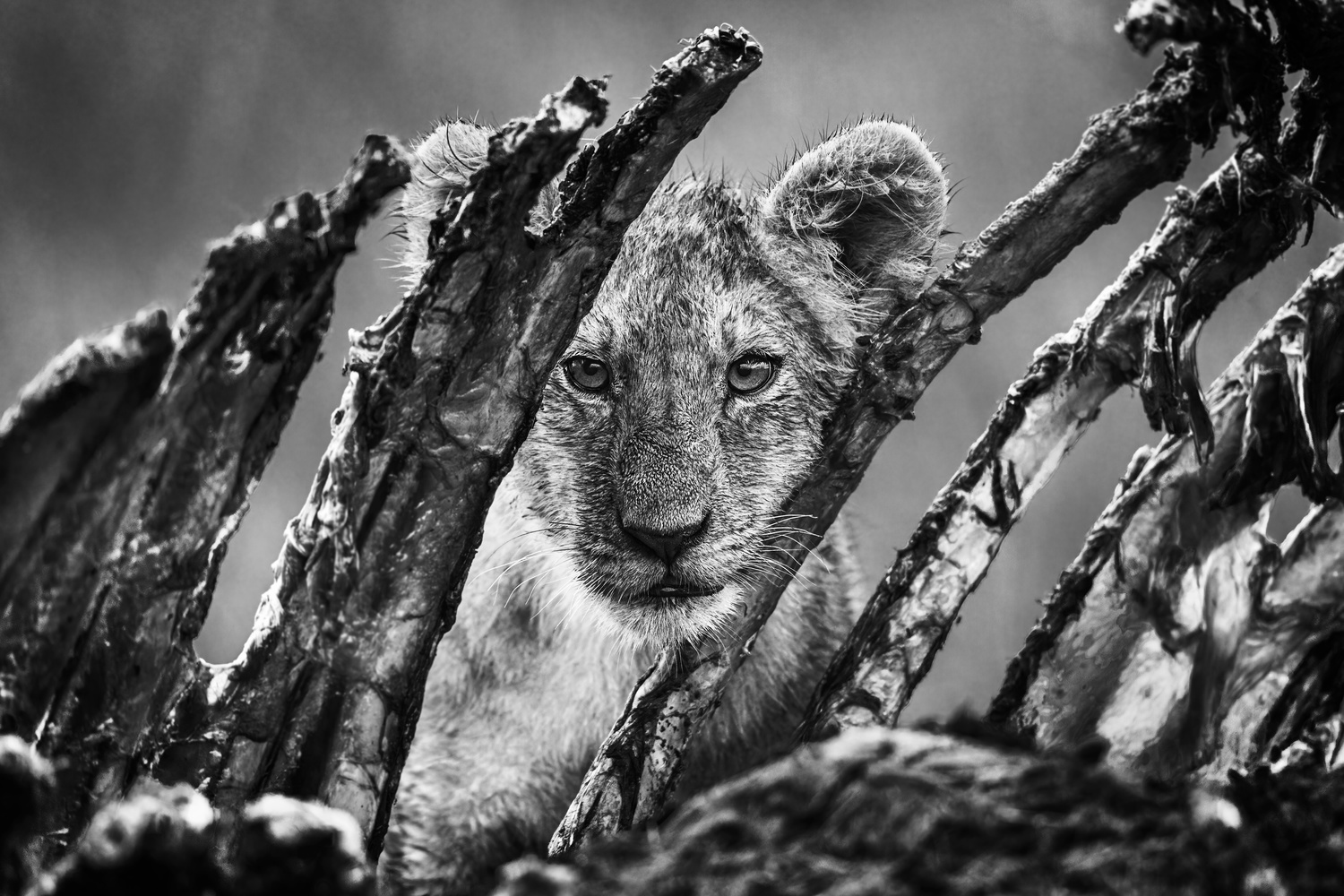 Lion cub likes ribs. by Martin Wagner