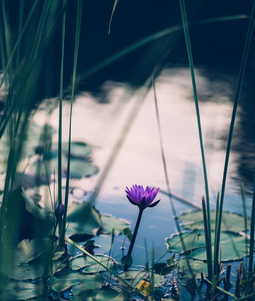 Lotus by Aaron Aaron