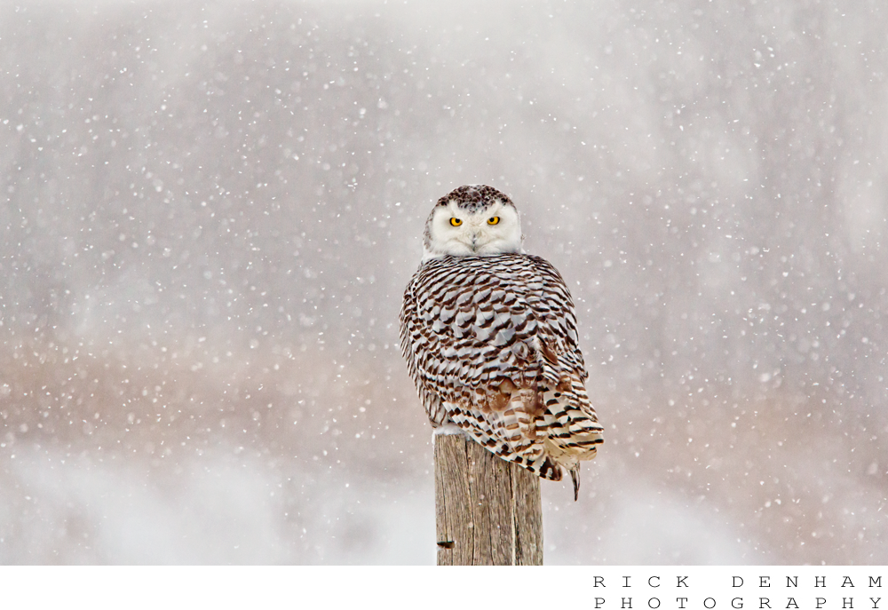 Snowy Owl by Rick Denham