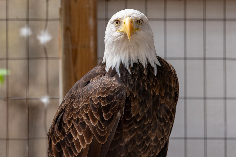 Recovering Bald Eagle by Jason Whelehon