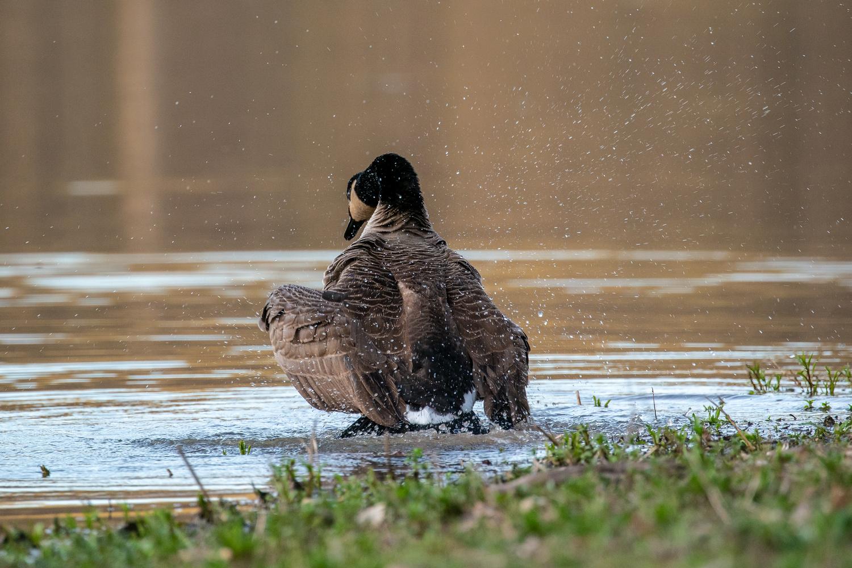 Goose by Jason Whelehon