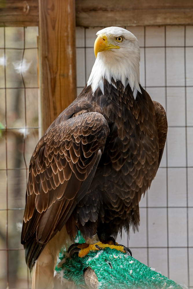 Recovering Bald Eagle by Jason Whelehon