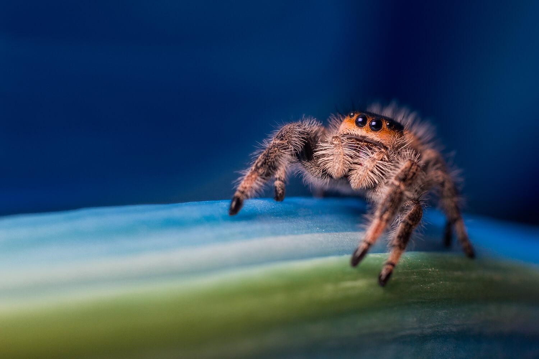 Regal jumping spider by Stewart Wood